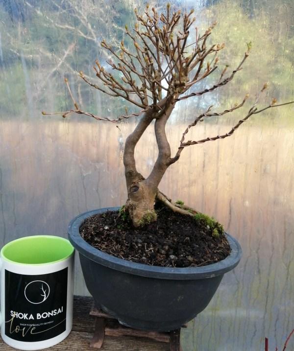 Lovely Enkianthus Bonsai Tree