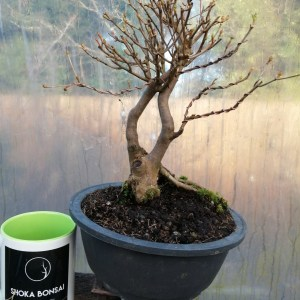 Lovely Enkianthus Bonsai Tree