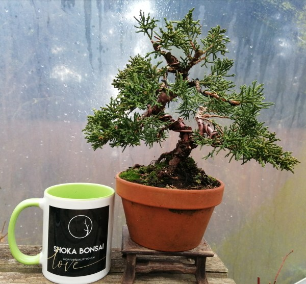 Chinese Juniper Shimpaku Bonsai Tree in training