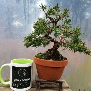 Chinese Juniper Shimpaku Bonsai Tree in training