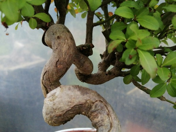 Superb quality Japanese Euonymus Japonicus Spindle Tree