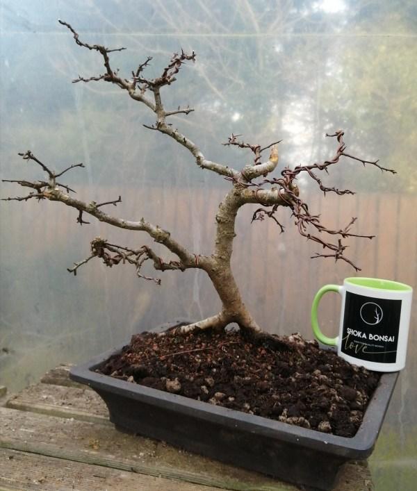 Hawthorn Crataegus Monogyna Yamadori Bonsai Tree