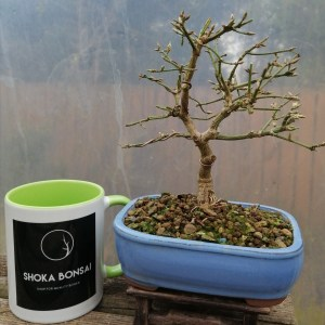 Euonymus Alatus Spindle Bonsai Tree