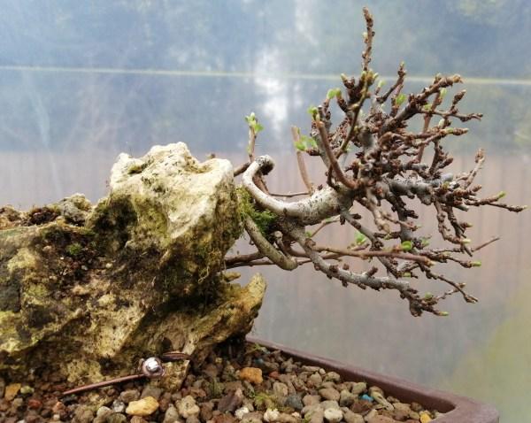 Chojubai Dwarf Quince Root over rock Bonsai Tree