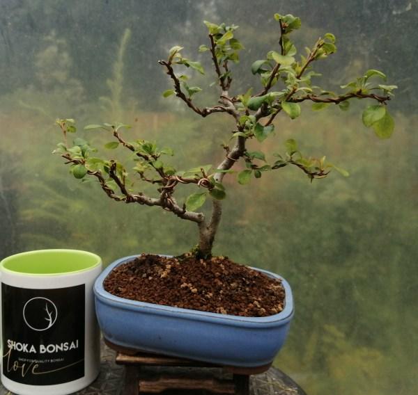 Japanese quince Bonsai Tree
