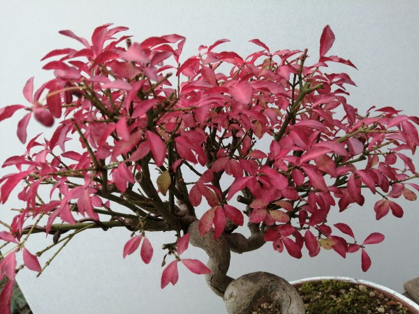 Japanese Euonymus Japonica Spindle Tree