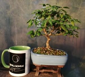 Spindle Tree bonsai