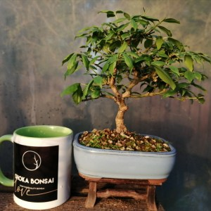 Spindle Tree bonsai