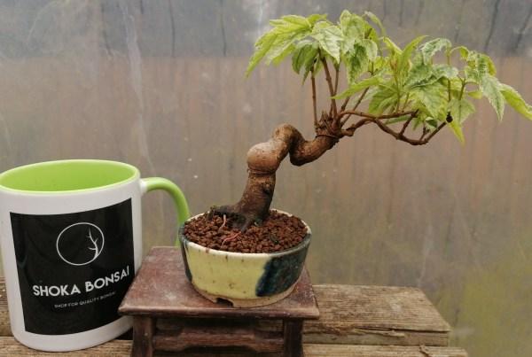 Acer Tataricum/Tatar maple Bonsai Tree