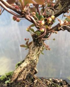 Barberry/Berberis atropurpurea Bonsai