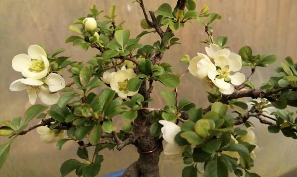 Dwarf Japanese Quince Bonsai Tree