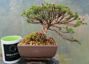 Beautiful Dwarf Japanese Alpine Azalea Bonsai