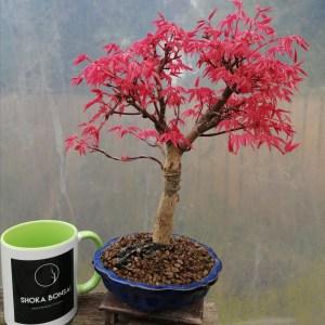 Japanese-Maple deshojo bonsai tree