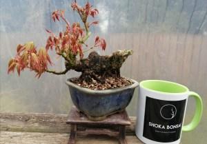 Shohin Japanese Maple Acer Palmatum Bonsai Tree