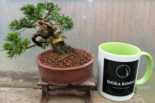 Chinese Juniper Itoigawa Shohin Bonsai Tree