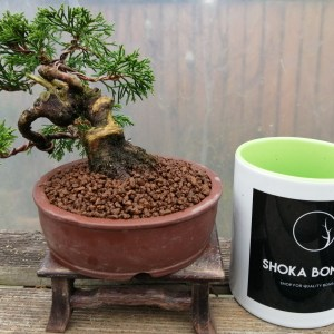 Chinese Juniper Itoigawa Shohin Bonsai Tree