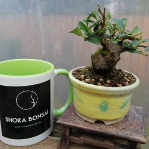Pyracantha Firethorn Mini Bonsai Tree