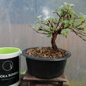 Cute Potentilla fruticosa bonsai tree