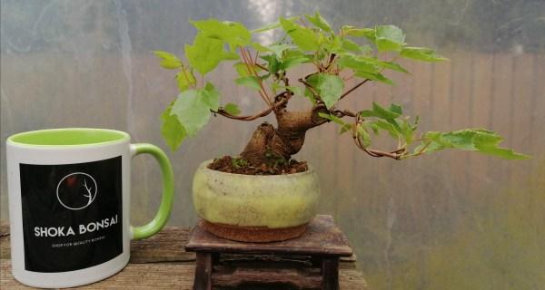 Acer Tataricum/Tatar maple shohin Bonsai Tree