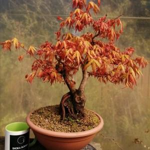 Japanese Maple Acer Palmatum Katsura Variety Bonsai Tree