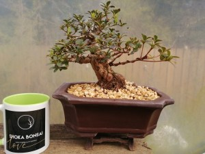 Specimen Shohin Satsuki azalea Bonsai Tree