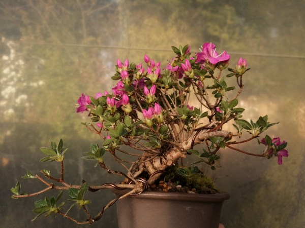 Dwarf azalea Bonsai tree