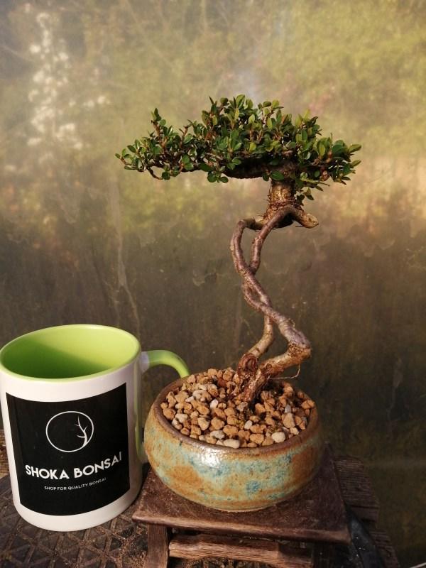Unique Cotoneaster flowering Bonsai Tree