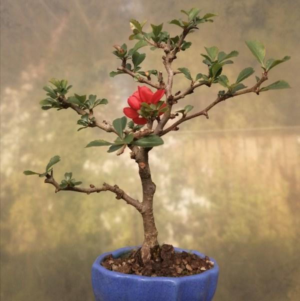 Mame Chojubai Bonsai Tree