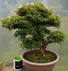 Large Satsuki azalea bonsai tree
