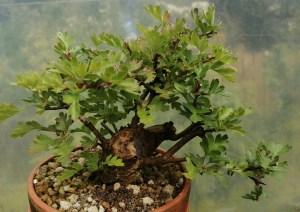 Crataegus/Hawthorn Shohin Bonsai Tree material