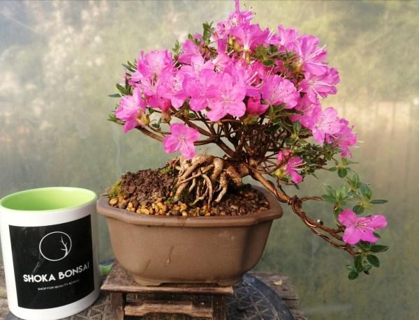 Stunning Dwarf Alpine azalea bonsai tree