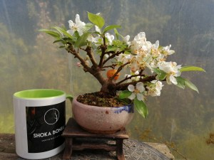 Flowering Crab Apple Bonsai Tree