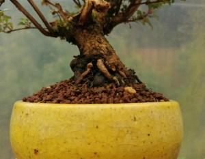 Shohin Fuchsia Microphylla Bonsai tree