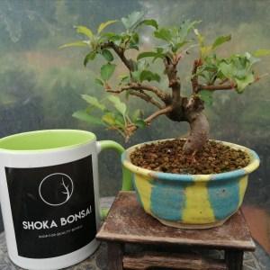 Japanese Crab Apple Small Bonsai Tree