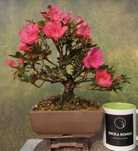 Satsuki azalea flowering bonsai tree