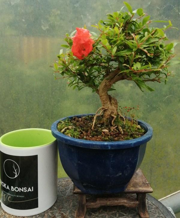 Pomegranate Shohin bonsai tree