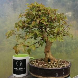 Beautiful Trident Maple bonsai tree
