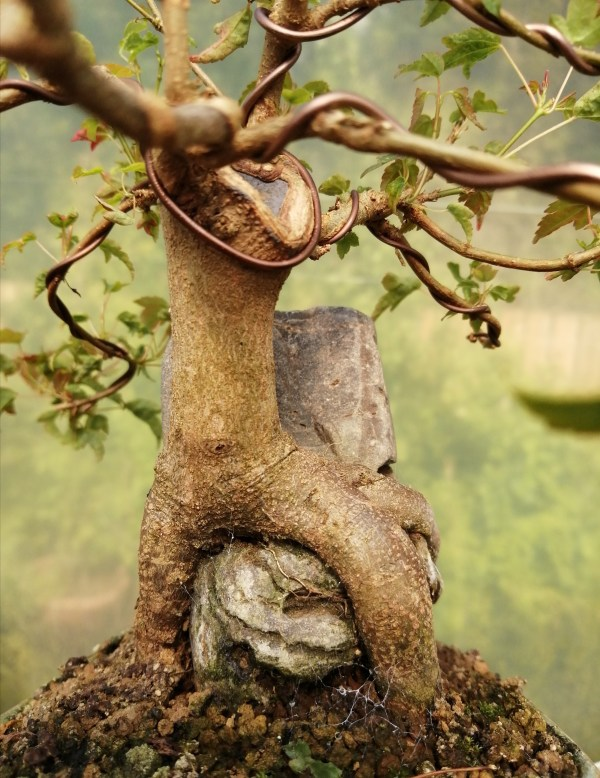 Trident Maple root over rock bonsai tree