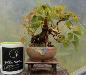 Boston Ivy Shohin bonsai tree