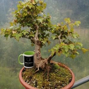 Large Trident Maple Bonsai tree material