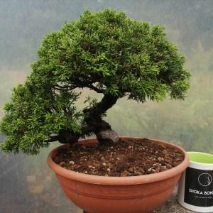 Superb Quality Twisting trunk Juniper Itoigawa Bonsai Material
