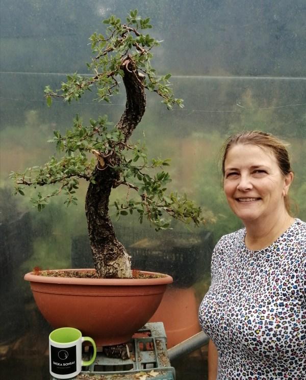 Large Quercus Faginea Portuguese Oak Yamadori Bonsai Material