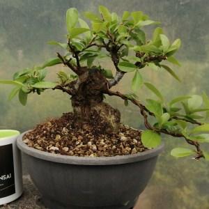 Pyracantha Firethorn sumo shohin Bonsai Tree Material