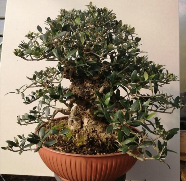Large Olive/Olea Specimen Bonsai in development