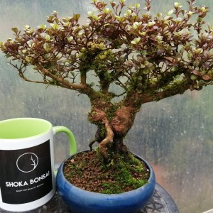 Lophomyrtus dwarf Myrtle Bonsai Tree