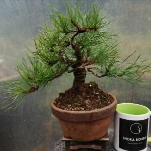 Pinus Mugo Shohin Bonsai Tree