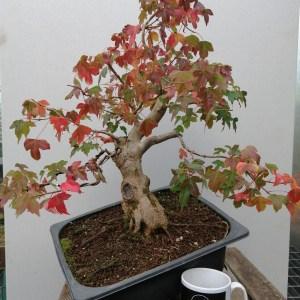 Large Trident Maple Bonsai tree in development