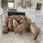 今年度初めての豚の肥育試験を開始