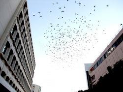 藤沢駅南口ロータリーの秋の来訪者「ムクドリ」の群れ