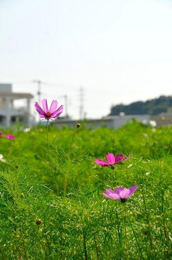 コスモス畑@藤沢市遠藤:コスモスの花や蕾がちらほら
